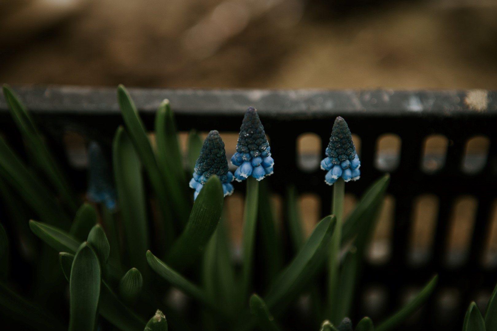 ,fürtös gyöngyike,muscari,wild flower bar,virágbolt,virág,tavaszi virág,esküvői virágcsokor,