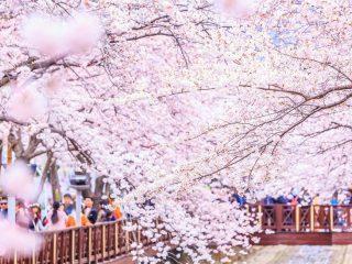 sakura virágzás