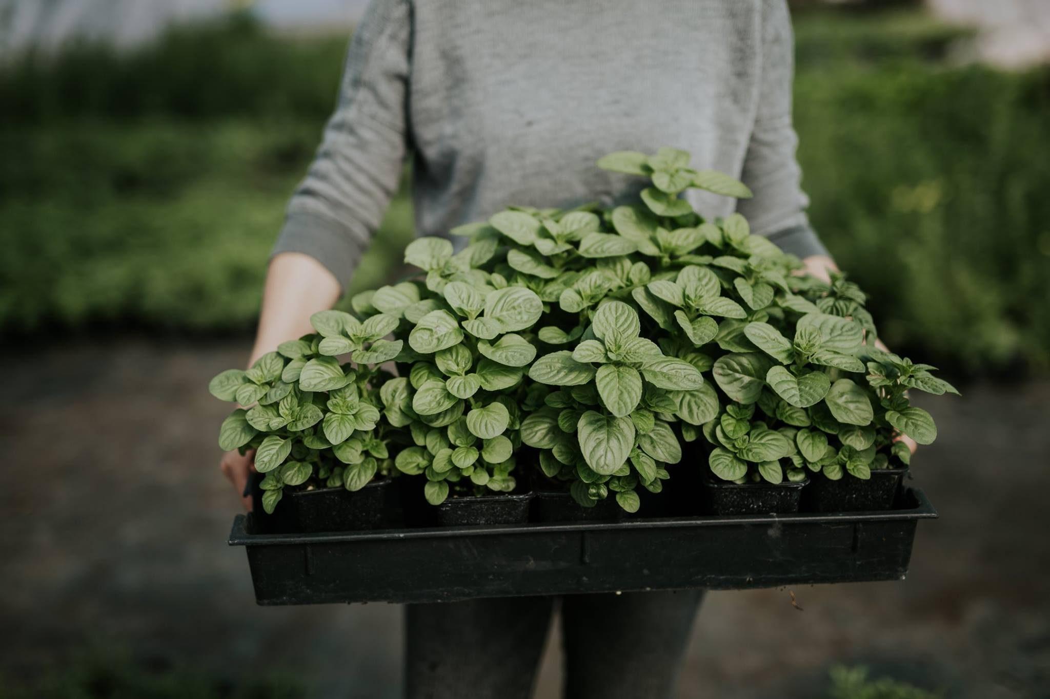 fűszer- és gyógynövénypiac